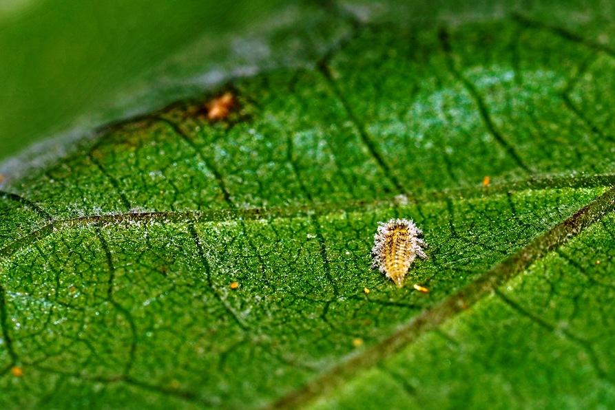 ¿Qué es la filoxera?
