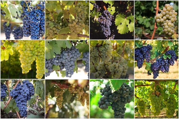 Los mejores tipos de uva argentina para hacer vino